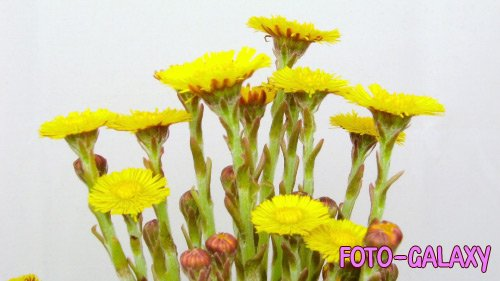 Video footage of Yellow flowers